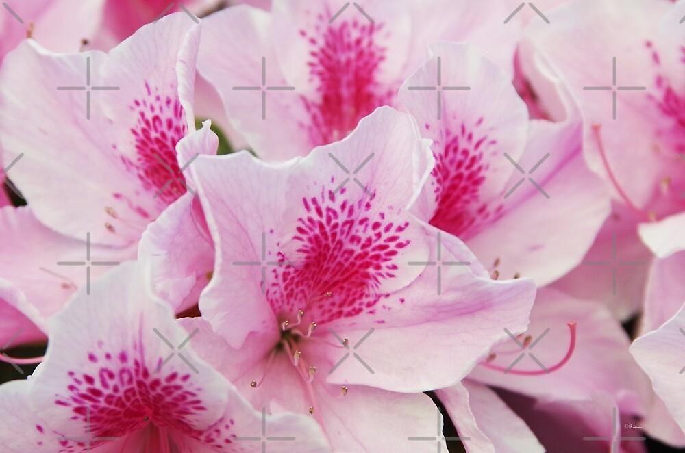 Pink Azalea by rom01
