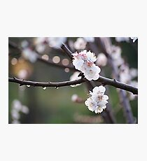 blossoms and dew drops Photographic Print