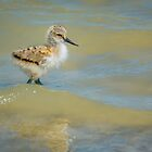 Pied Avocet Chick by Ralph Goldsmith