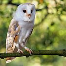Barn Owl by Alan Forder