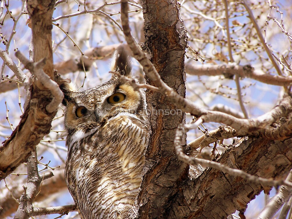 Horned owl  by Jody Johnson