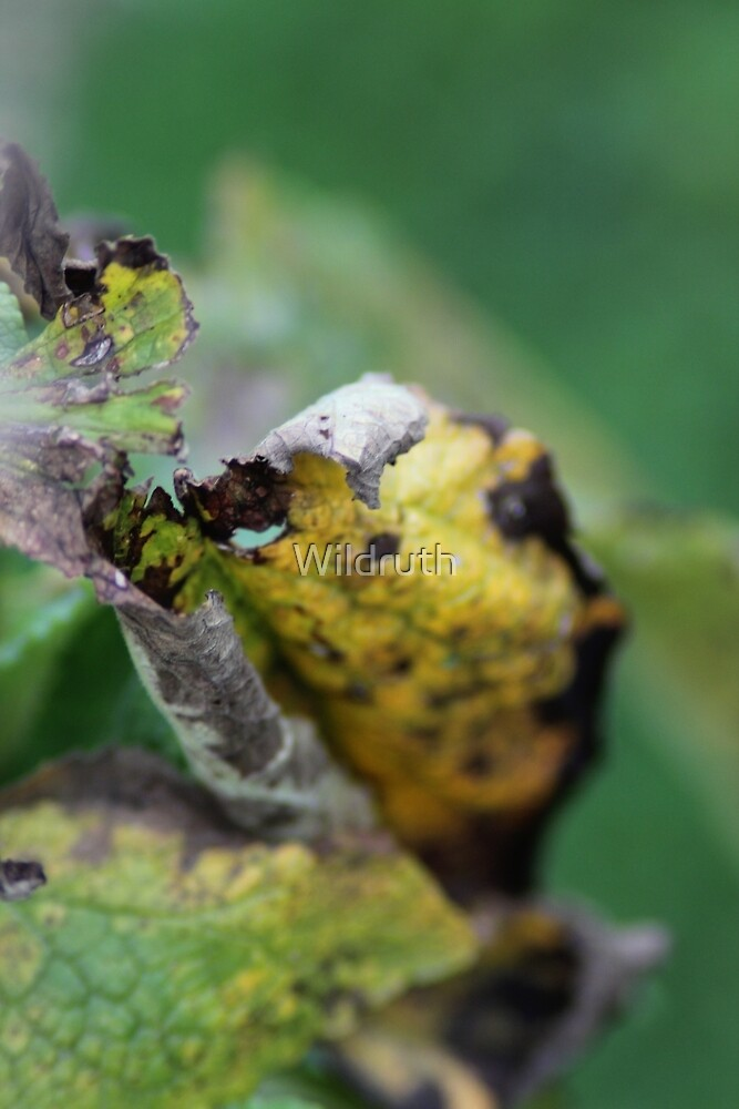 A leaf in garden that is decaying by Wildruth