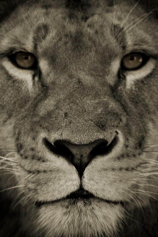 Lion Portrait by rosswoodphoto