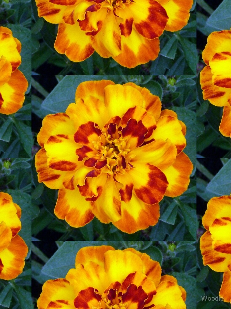 French Marigold by Woodie