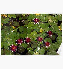 Vivid Fuchsia Waterlilies Poster