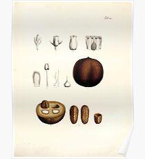 Nova genera et species plantarum V1 V3 Plates Karl Friedrich Philipp von Martius 1834 165 Poster