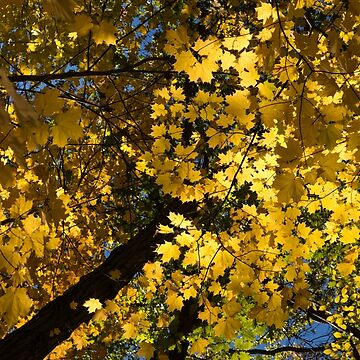 Golden Canopy - Look Up to the Trees and Enjoy Autumn - Vertical Left by GeorgiaM