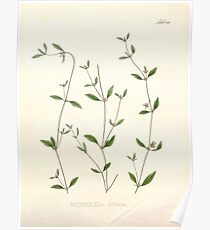 Nova genera et species plantarum V1 V3 Plates Karl Friedrich Philipp von Martius 1834 152 Poster
