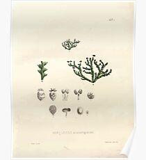Nova genera et species plantarum V1 V3 Plates Karl Friedrich Philipp von Martius 1834 003 Miniopsis scaturiginusis Poster