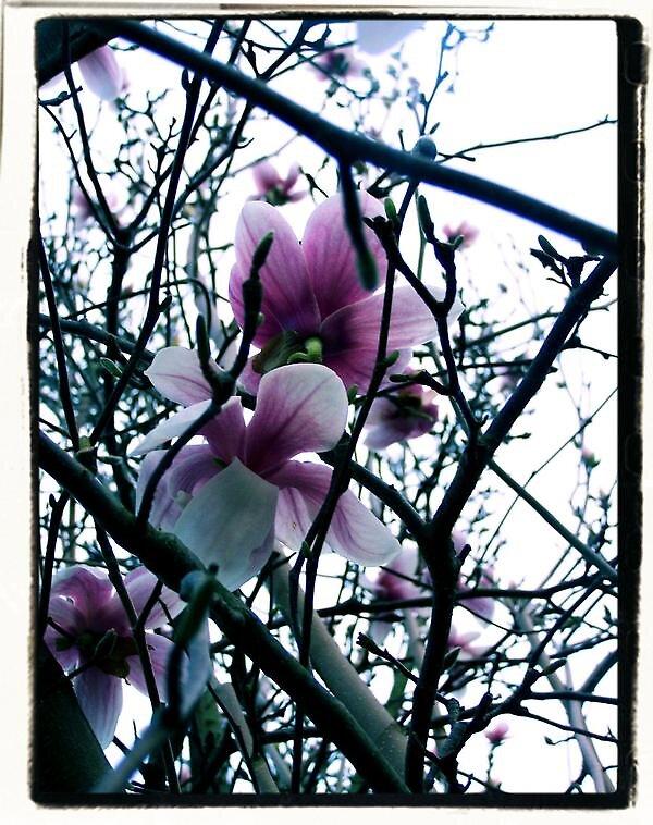 Magnolia in West Virginia by ashbreanna318