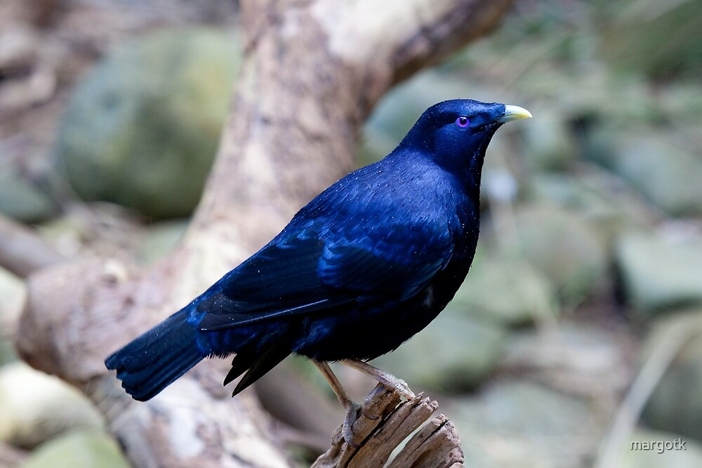Satin Bowerbird by margotk