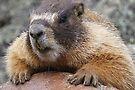 Marmot 2017 by Betsy  Seeton