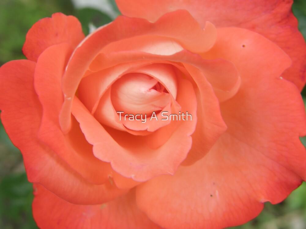peach blush by Tracy A Smith