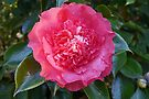 Double Pink Camelia by Graeme  Hyde