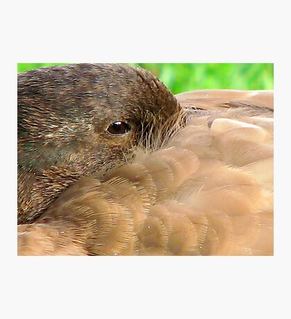 Duck Down Photographic Print