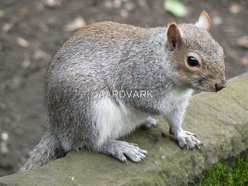A Pensive Looking Squirrel by AARDVARK