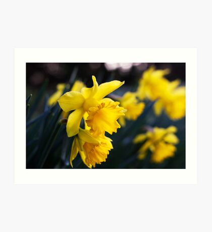 Daffodil Day Art Print