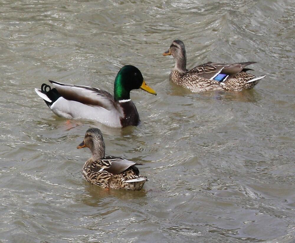 3 ducks a-swimming by shadyuk