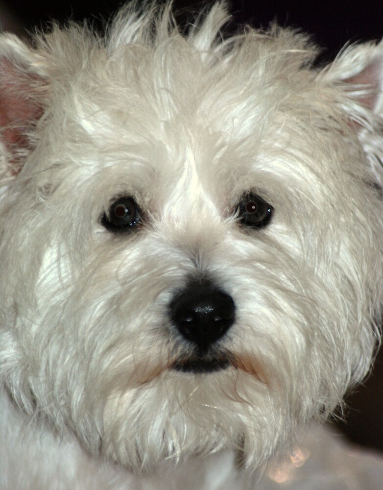 Westie by AnneS