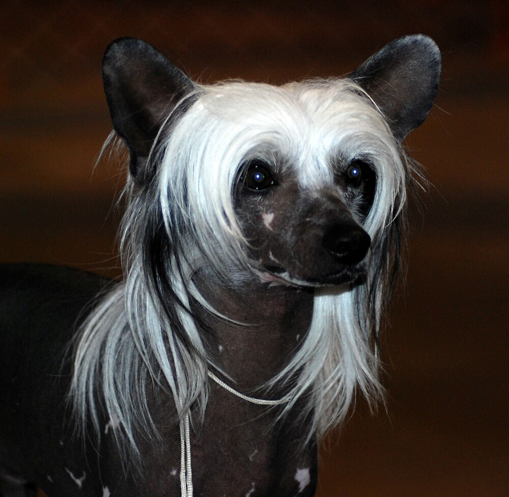 Chinese Crested by AnneS
