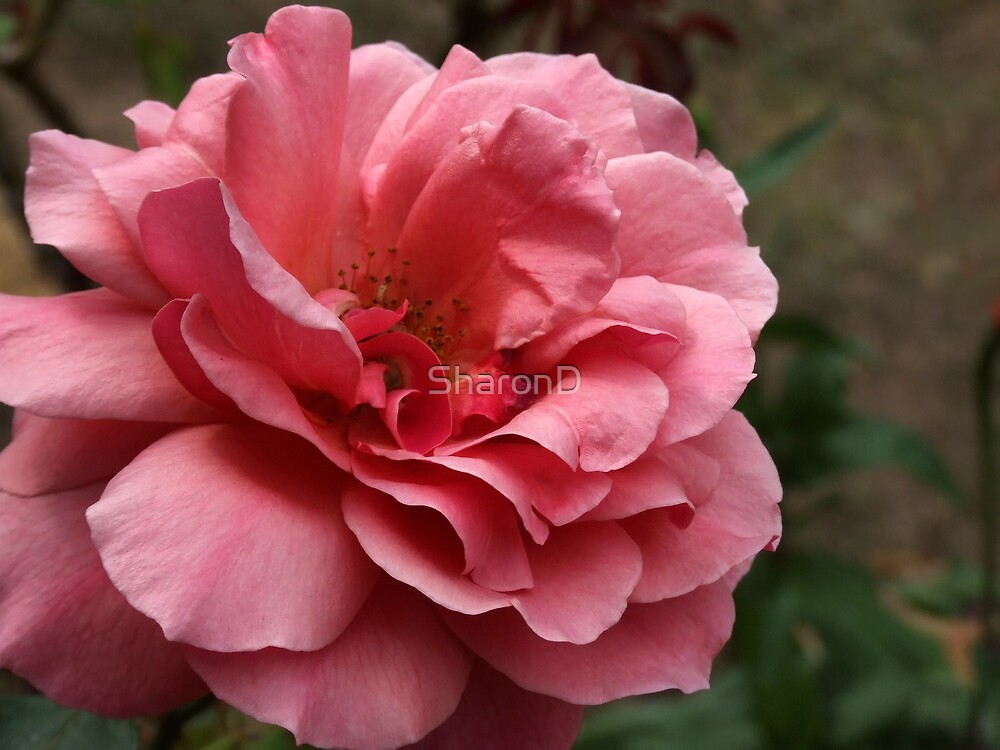 Pinkish Rose by SharonD