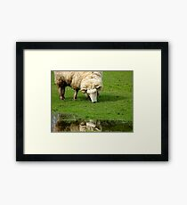 Hey!! What YOU Looking At!! - Sheep - NZ Framed Print
