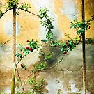 Rose plant by Silvia Ganora