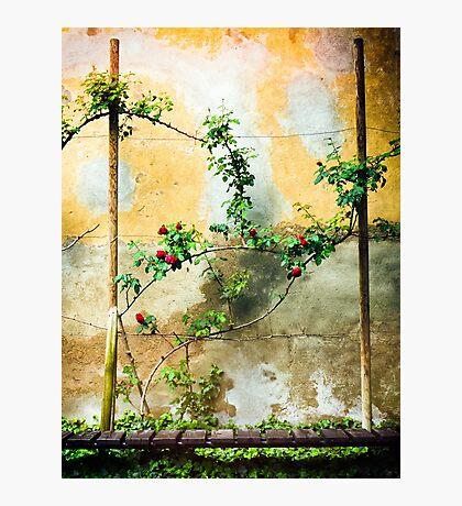 Rose plant Photographic Print