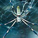 Araña (Spider) by HanselASolera