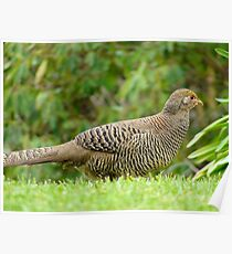 Aww Shoot!!.. All The Good Nesting Spots Are Taken!! - Female Golden Pheasant - NZ Poster