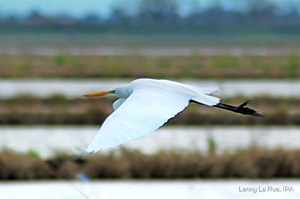 Cattle Egret flying 2 by Lenny La Rue, IPA