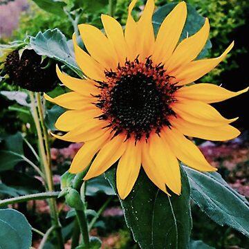 Sunflower by TadHappyGilmore