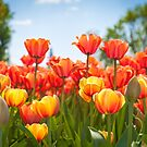 Bright colorful tulips in the park by Vasily