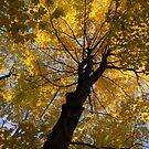 Under the Golden Autumn Canopy by Georgia Mizuleva