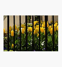 Tulips Behind Bars Photographic Print