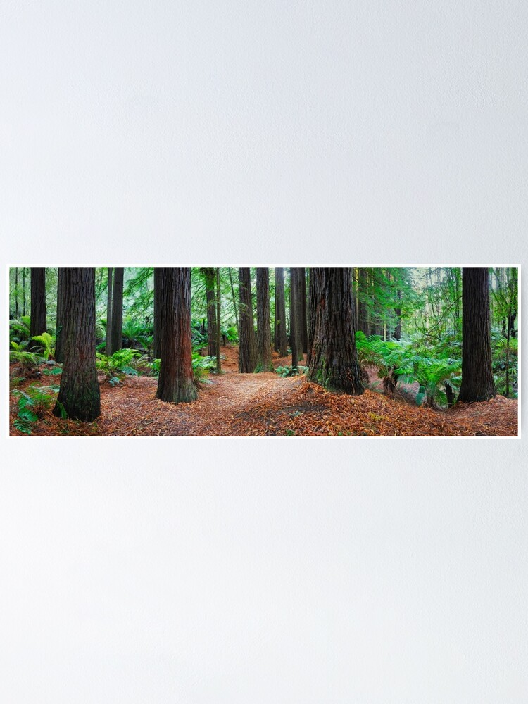 Alternate view of Redwood Forest, Otways, Great Ocean Road, Victoria, Australia Poster