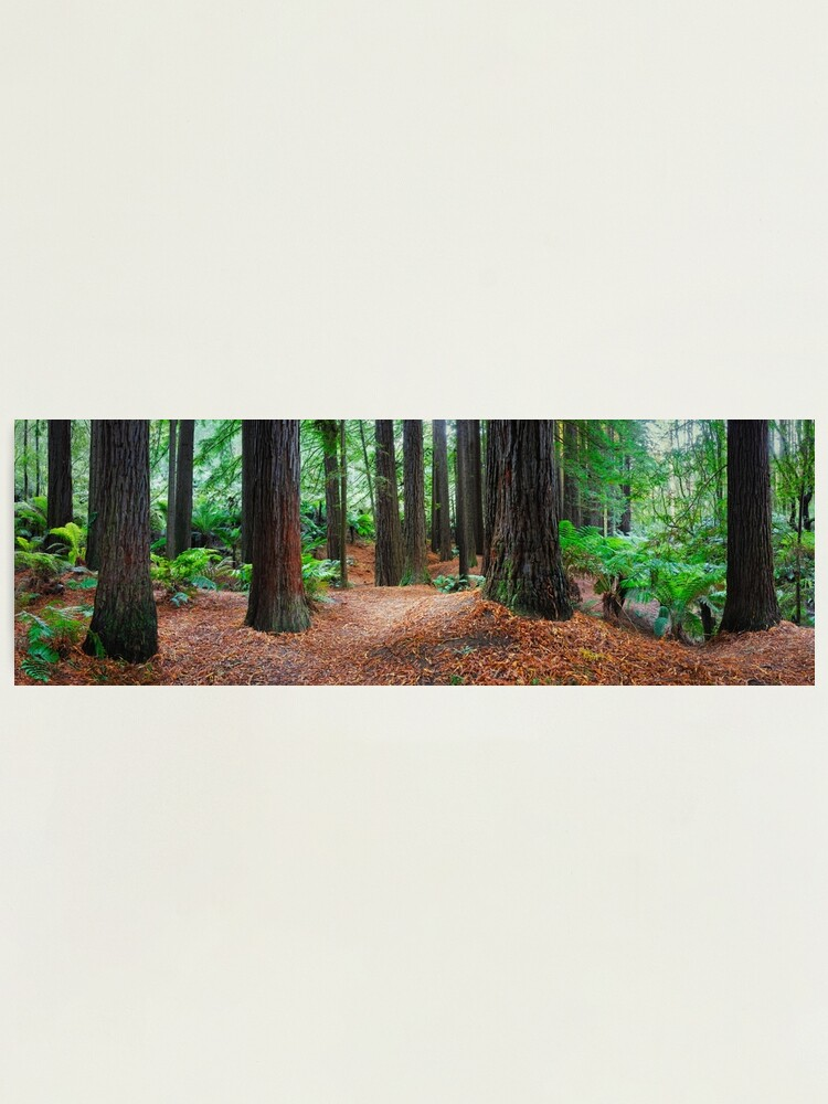 Alternate view of Redwood Forest, Otways, Great Ocean Road, Victoria, Australia Photographic Print
