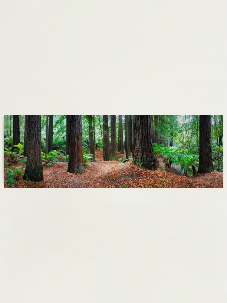 Alternate view of Redwood Forest, Otways, Great Ocean Road, Victoria, Australia Photographic Print