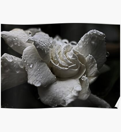 White Gardenia In The Rain Poster
