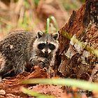 Little Raccoon (Procyon lotor) by Jeff Ore