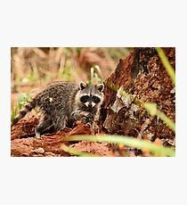 Little Raccoon (Procyon lotor) Photographic Print