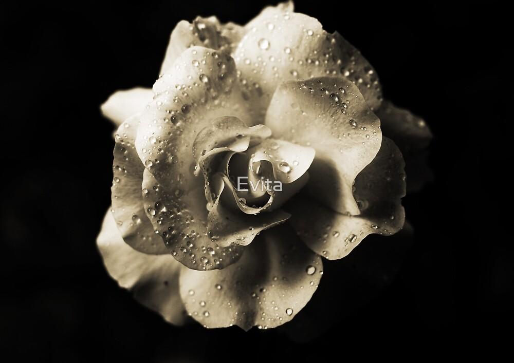 Rain Drops On A Rose -Sepia- by Evita