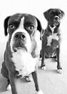 What Do You Mean She's Standing Behind Me -Boxer Dogs Series- by Evita