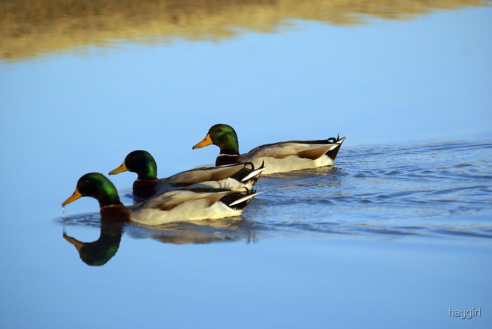Ducks on a pond by haygirl