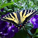 Swallowtail butterfly just emerged from it's chrysalis! by Elaine Bawden