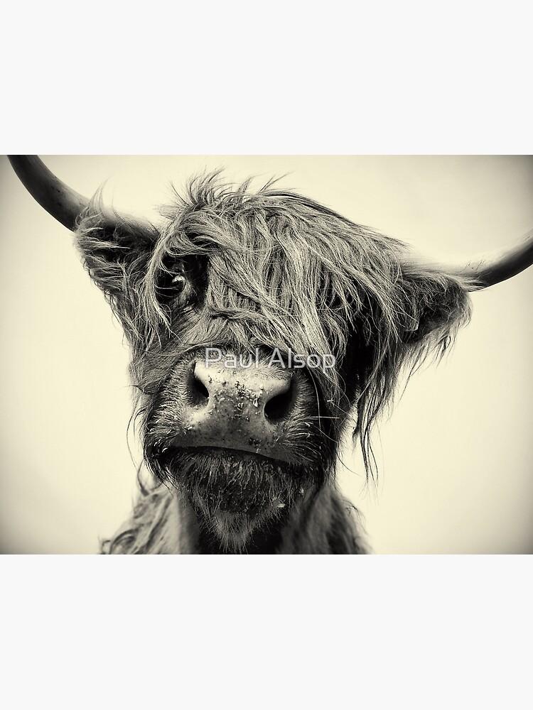 Highland Cow by PaulMAlsop