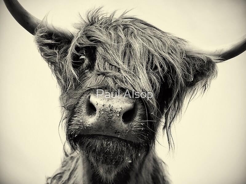 Quot Highland Cow Quot Canvas Prints By Paul Alsop Redbubble
