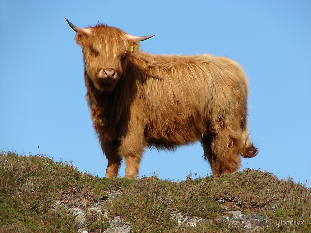 Highland Cattle by Blondilox