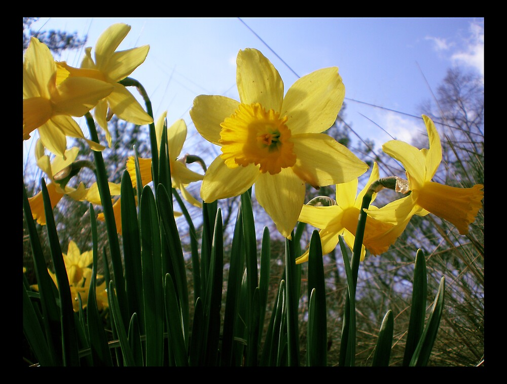 Different View Of Daffodils by MaryHelen