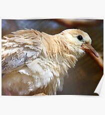 I'm Getting A Brand New Coat For Summer - Juvenile Dove - NZ Poster